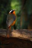 白browed罗宾闲谈, Cossypha heuglini,异乎寻常的棕色和橙色非洲鸟在黑暗的森林自然栖所, Vict细节  库存照片