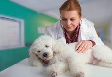 白pooder和兽医 库存图片