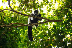 黑白ruffed狐猴& x28; Varecia variegata& x29; 马达加斯加 免版税库存照片