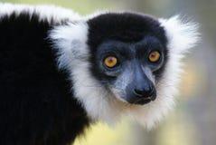 黑白Ruffed狐猴- Varecia variegata 库存图片