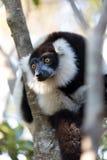 黑白ruffed狐猴Varecia variegata subcincta 免版税库存照片