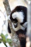 黑白ruffed狐猴Varecia variegata subcincta 库存照片