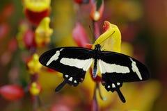 黑白swallowtail蝴蝶 在自然栖所,红色和黄色藤本植物花,印度尼西亚,亚洲的昆虫 红色和黄色 免版税库存照片