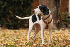 黑白treeing的步行者猎浣熊的猎犬神 库存照片