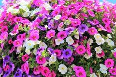 百万响铃在一个垂悬的篮子的多种颜色开花 库存照片