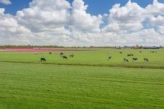 百分之一百荷兰语,吃草在开花的tuli旁边的母牛 免版税库存图片