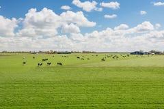 百分之一百荷兰语,吃草在开花的tuli旁边的母牛 库存图片