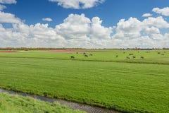 百分之一百荷兰语,吃草在开花的tuli旁边的母牛 库存照片