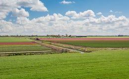 百分之一百荷兰语,吃草在开花的tuli旁边的母牛 图库摄影