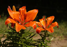 百合两朵橙色花  免版税库存照片