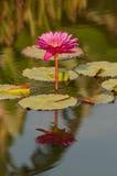 百合反射的水 免版税图库摄影