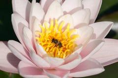 百合和蜂 免版税图库摄影