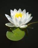 百合唯一水白色 免版税库存照片