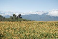 百合在山顶开花到处 图库摄影