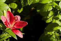 百合在庭院里 免版税图库摄影