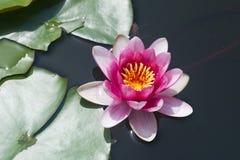 百合在有明亮的桃红色瓣的一个池塘 图库摄影