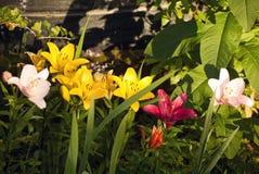 百合属植物小组 免版税库存照片