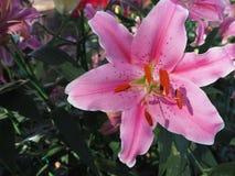 百合属植物杂种开花的美好的桃红色或百合开花 免版税库存照片
