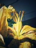百合属植物的宏指令 库存图片
