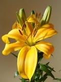百合属植物花 库存图片