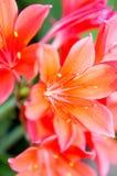 百合属植物 图库摄影