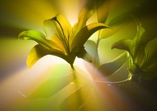百合属植物 免版税图库摄影