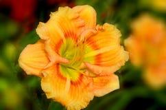 百合属植物 库存照片