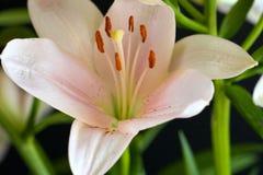 百合属植物 库存图片