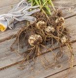 百合属植物dauricum (pensylvanicum)电灯泡 免版税库存图片