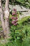 百合属植物martagon 免版税图库摄影