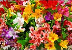 百合属植物orientale阿尔梅里雅 图库摄影