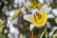 百合属植物spp在庭院里开花 库存图片