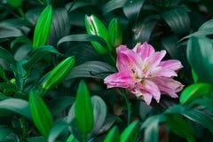 百合属植物spp在绿色事假背景的庭院里开花 免版税库存照片