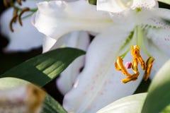 百合属植物spp是有意思在复活节4月的花 库存照片