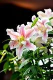 百合或百合属植物(百合科) 库存图片
