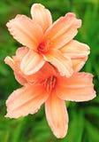 百合桃子颜色本质上 图库摄影