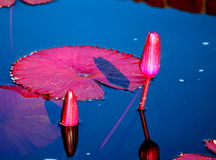 百合桃红色水 图库摄影