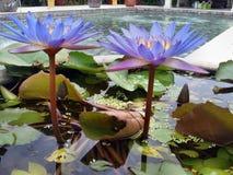 百合桃红色池塘水 库存照片