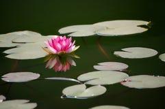 百合桃红色池塘水 免版税库存照片