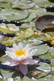 百合桃红色池塘水想 库存图片