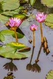 百合桃红色池塘水 库存图片