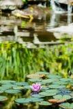 百合桃红色池塘水 免版税库存图片