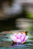 百合桃红色池塘水 图库摄影