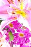 百合桃红色热带 库存图片