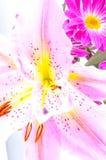 百合桃红色热带 免版税库存图片