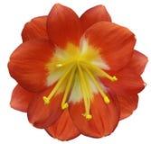 百合橙色花,隔绝与裁减路线,在白色背景 黄色雌蕊,雄芯花蕊 黄色中心 对设计 库存图片