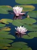 百合池塘水 免版税图库摄影