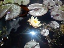 百合池塘白天 图库摄影