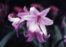 百合百合属植物粉红色 库存图片