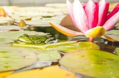 百合的青蛙和花 r 在荷花的叶子的青蛙在百合花附近的一个池塘 库存照片
